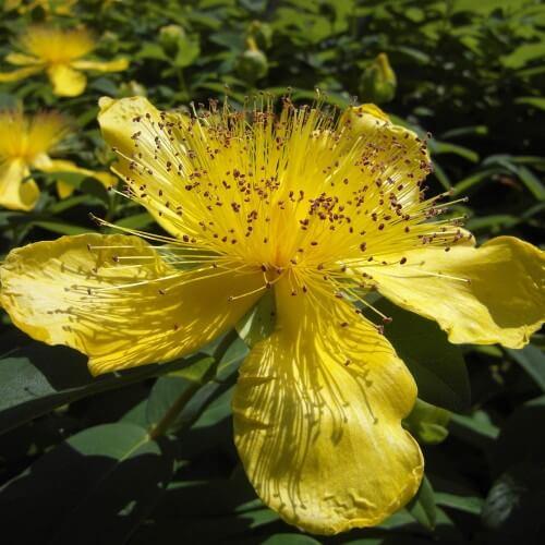 Millepertuis rampant persistant (Hypericum Calycinum)