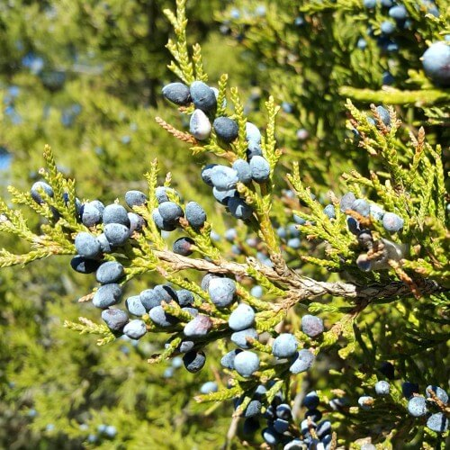 Genévrier de Virginie (Juniperus virginiana)