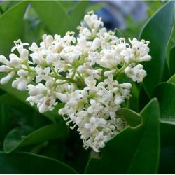 Troène du Japon (Ligustrum Japonicum)