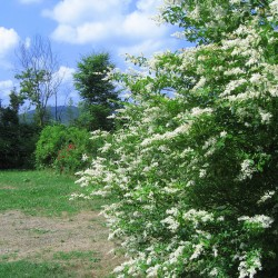 Troène des bois (Ligustrum Vulgare)