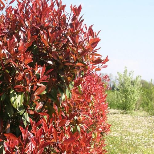 Photinia (Photinia Fraseri 'Red Robin')