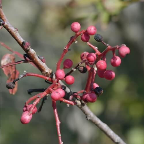 Pistachier térébinthe (Pistacia Terebinthus)
