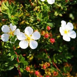 Potentille blanche (Potentilla Fruticosa 'Abbotswood')