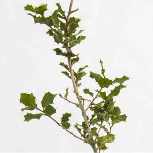 Chêne des garrigues (Quercus coccifera)