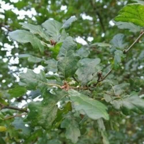 Chêne de la forêt de Bercé