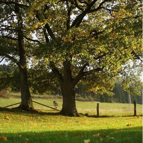 Chêne vert (Quercus Ilex)