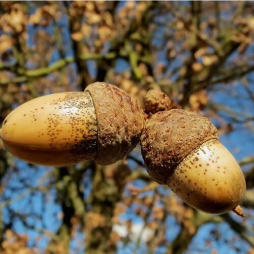 Chêne pédonculé (Quercus robur)