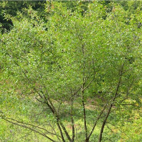 Bourdaine (Rhamnus Frangula)