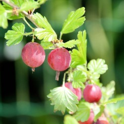 Groseillier à maquereau (Ribes Uva Crispa)