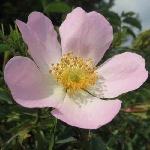 Eglantier (Rosa Canina)