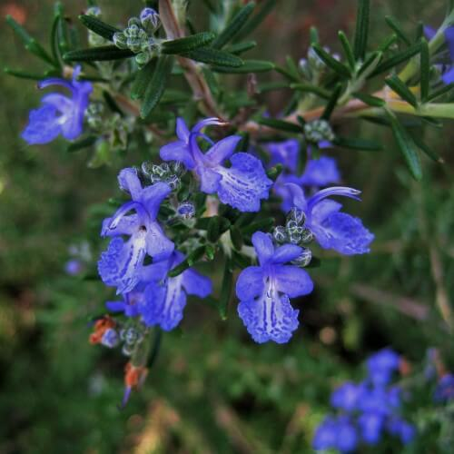 Romarin - Port semi-prostré - Bleu soutenu (Rosmarinus Officinalis 'Corsican Blue')