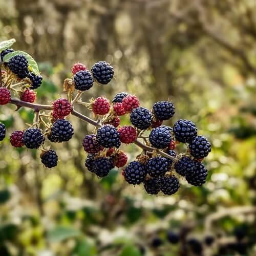 Ronce des bois (Rubus Fruticosus)