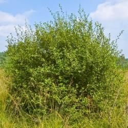 Saule à oreillettes ou 'Petit Marsault' (Salix Aurita)
