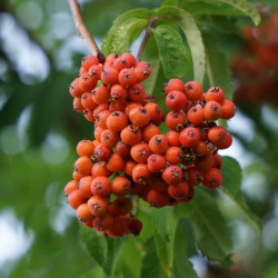 Sorbier des oiseleurs (Sorbus aucuparia)