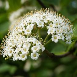 Alisier blanc (Sorbus Aria)