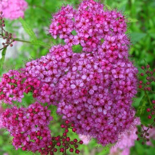 Spirée du Japon Anthony Waterer - (Spiraea Japonica)