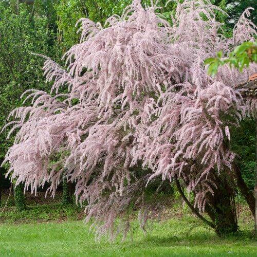 Tamaris d'Eté (Tamarix Pentandra Ramosissima)