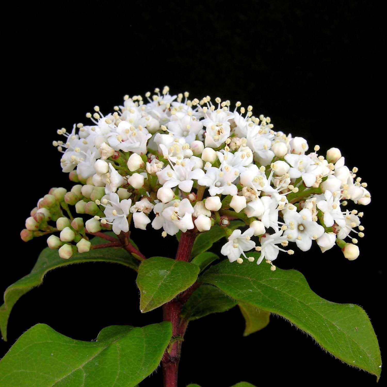 Taille Du Laurier Tin laurier tin (viburnum tinus) : vente arbre et arbuste