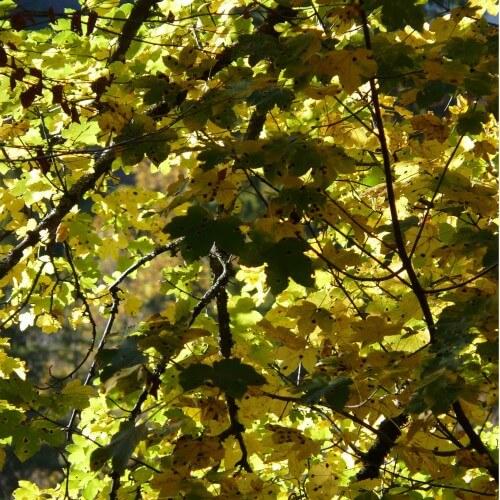 Erable sycomore (Acer Pseudoplatanus)