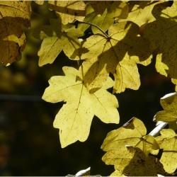 Erable champêtre (Acer Campestris)