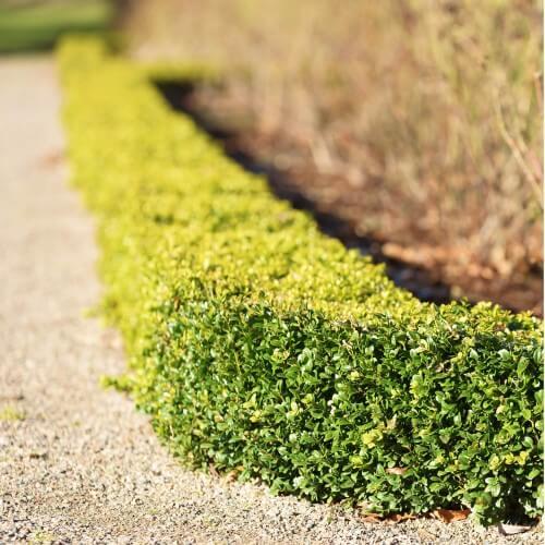 Buis commun à feuilles rondes (Buxus Sempervirens 'Rotundifolia')