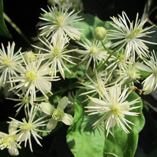 Clématite des haies ou Clematite vigne blanche (Clematis Vitalba)