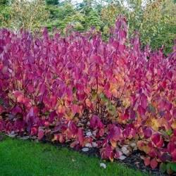 Cornouiller à bois rouge et revers feuille bleutée (Cornus Alba 'Sibirica')