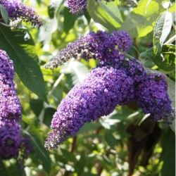 Arbre à papillons (Buddleia Davidii)