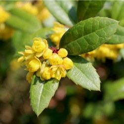 Epine-vinette de Juliana - Jaune-Persistant (Berberis Julianae)