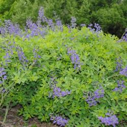 Faux indigo (Amorpha fruticosa)
