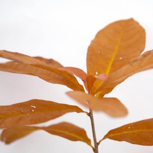 Chênes à lattes (Quercus Imbricaria)