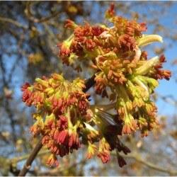Erable à feuilles de frêne (Acer Negundo)