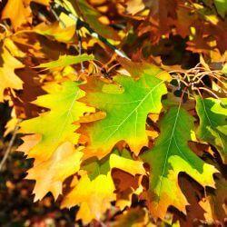 Chêne des marais (Quercus Palustris)