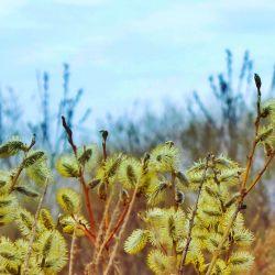 Saule soyeux (Salix Daphnoides)