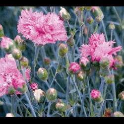 Oeillet Mignardise - Dianthus Plumarius Double Rose