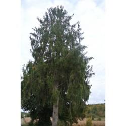 Epicea de Serbie (Picea omorika)
