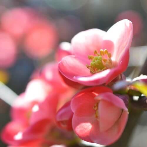 Cognassier du Japon 'Falconet Charlet'