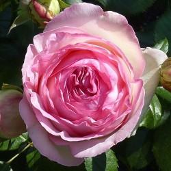 Rosier Pierre de Ronsard ® - Rose Blanche et Rose - Grandes Fleurs