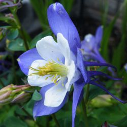 Ancolie 'Blue Star' (Aquilegia 'Blue Star')