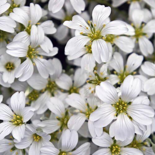 Oreille de Souris ou Céraiste 'Columnae' (Cerastium 'Tomentosum Columnae')