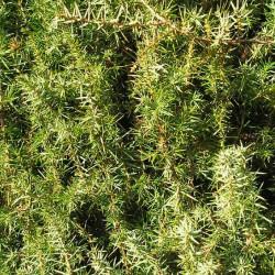 Genévrier Oxycèdre (Juniperus Oxycedrus)