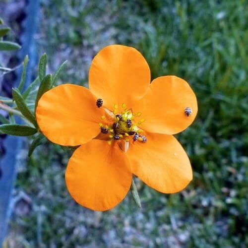 Potentille Arbustive 'Hopley's Orange' (Potentilla Fruticosa 'Hopley's Orange')