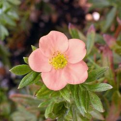 Potentille Arbustive 'Lovely Pink®' (Potentilla Fruticosa 'Lovely Pink®')