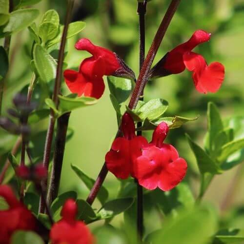 Sauge de Graham (Salvia Microphylla)