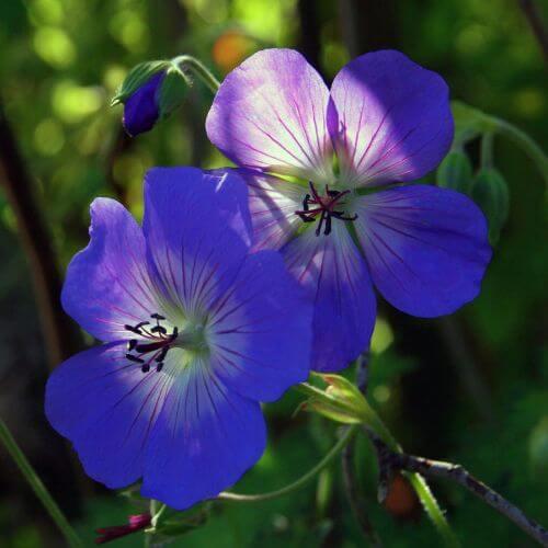 Géranium 'Johnson's Blue' (Geranium)