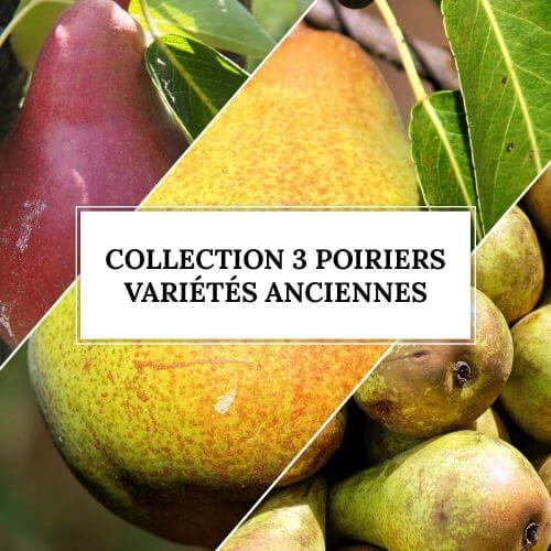 Collection 3 Poiriers Variétés Anciennes