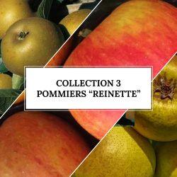 Collection de 3 Pommiers 'Reinette'