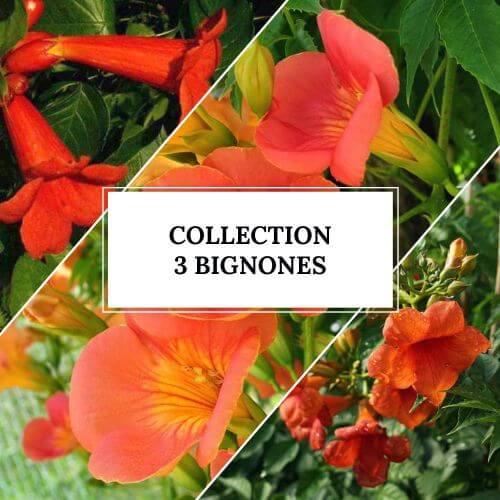 Collection 3 Bignonnes