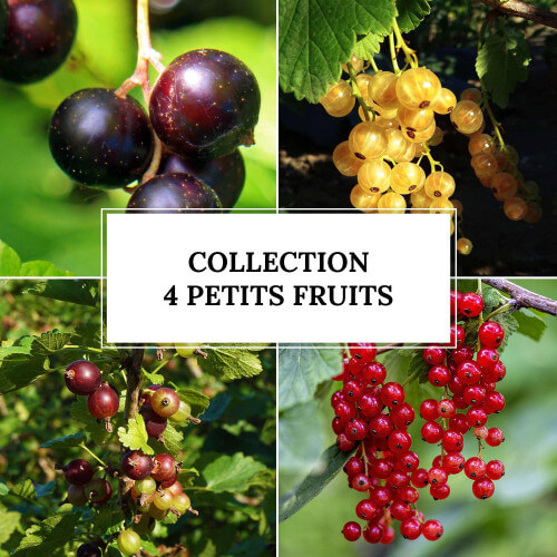 Collection 4 Petits Fruits