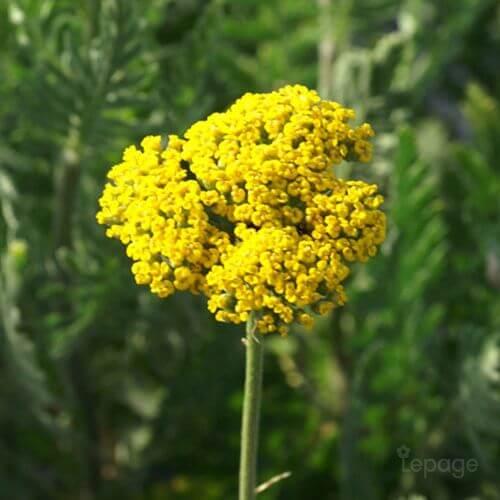 Achillée Eupatoire 'Parker's Variety' (Achillea Filipendulina)